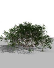 arquishrub0 – 3D View – Realistic MEDIUM